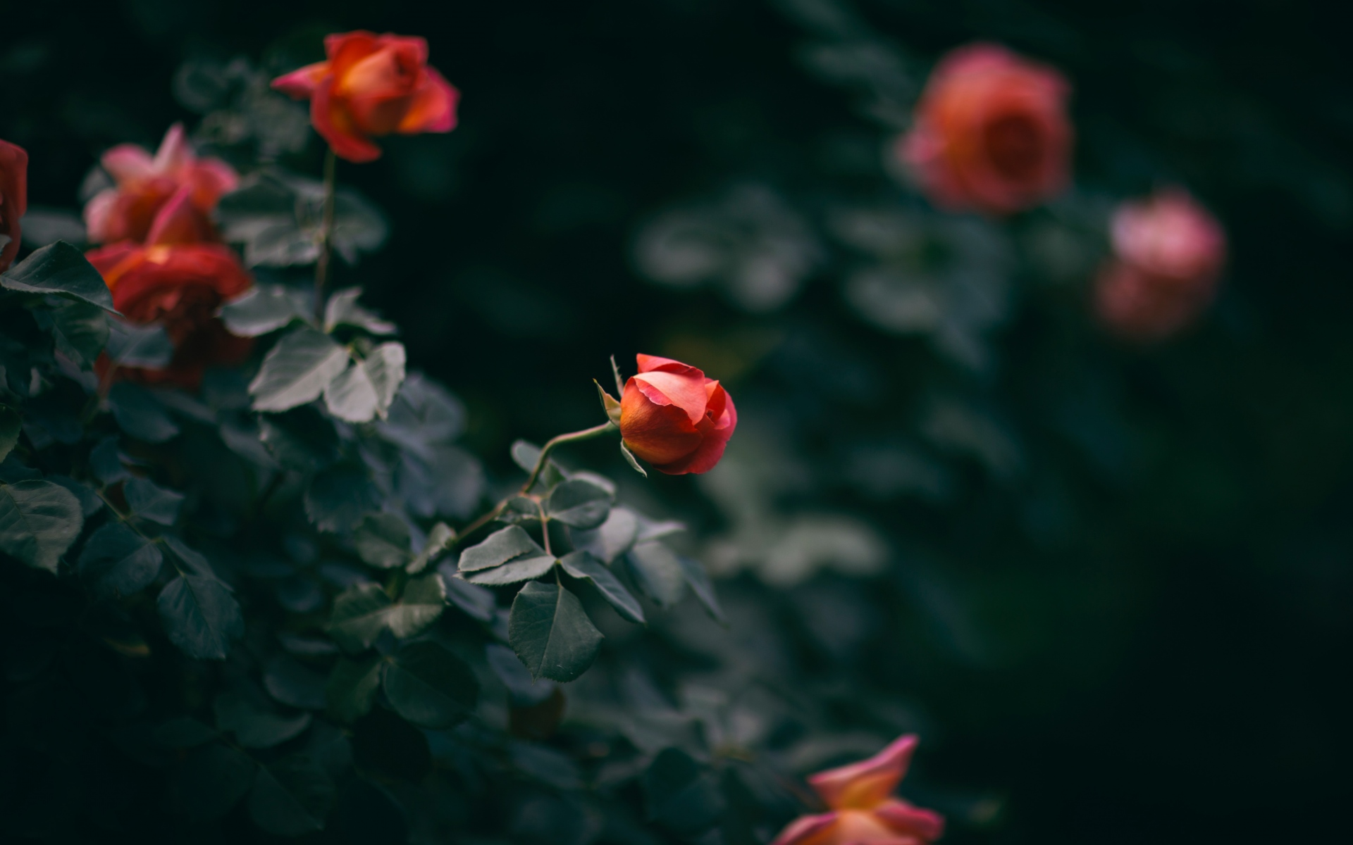 Картинки Роза, цветок, куст, бутоны фото и обои на рабочий стол