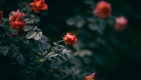 Роза, цветок, куст, бутоны