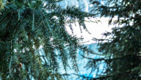 Дерево, ветвь, шипы