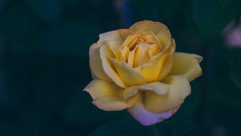 Роза, бутон, желтый, лепестки