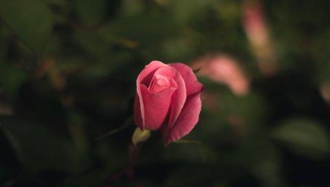 Роза, бутон, роза, размытие
