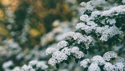 Цветы, куст, ветка, цветение, весна