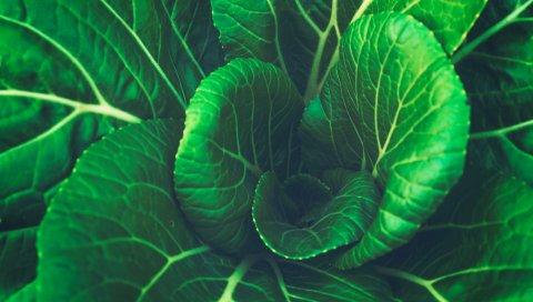 Китайская капуста, листья, овощи