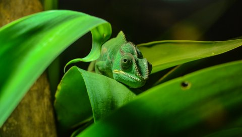 Хамелеон, рептилия, листва, цвет, маскировка