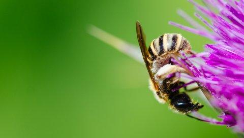 Пчела, цветок, пыльца