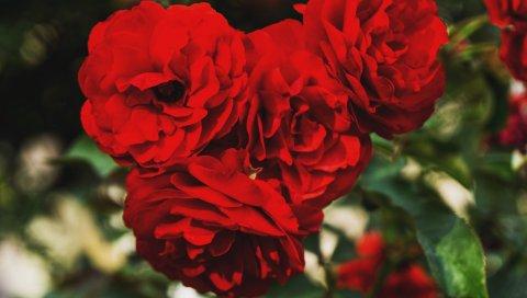 Красные розы, почки, ветви, лепестки