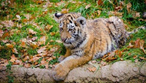 Сибирский тигр, детеныш, хищник, осень, листва