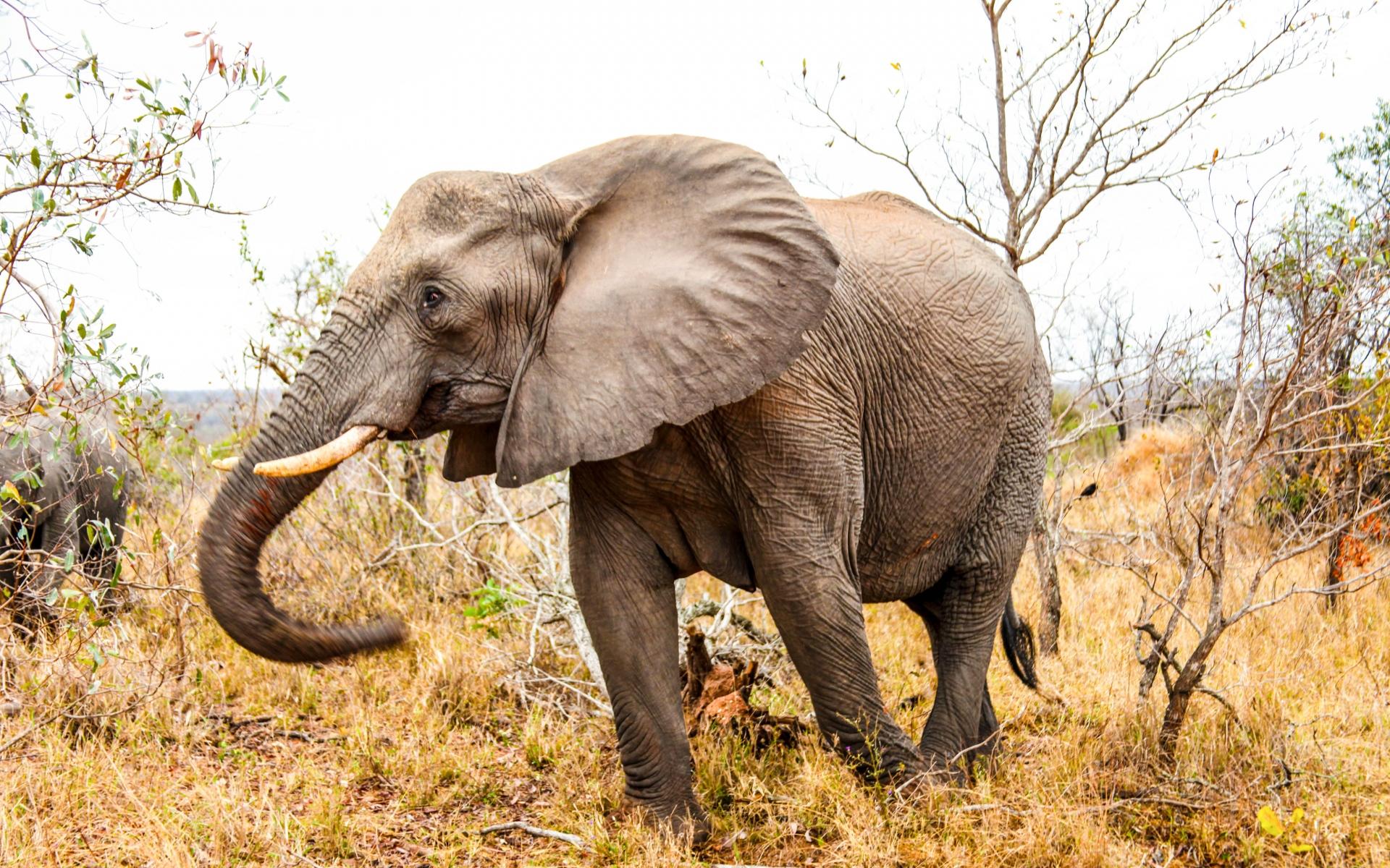 Картинки Слон, ствол, трава, прогулка фото и обои на рабочий стол