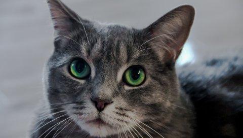 Кошка, зеленоглазая, морда