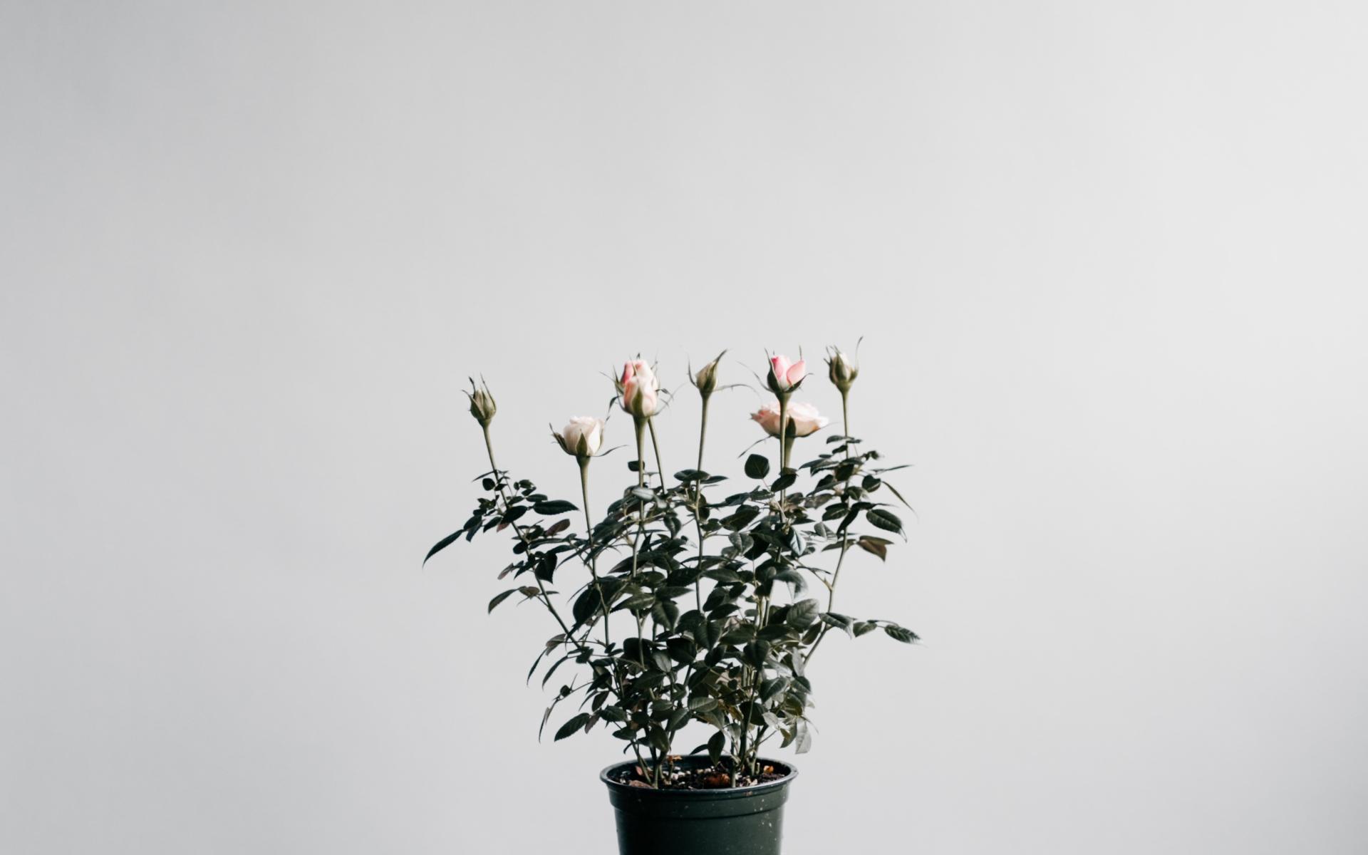 Картинки Розы, комнатное растение, горшок фото и обои на рабочий стол