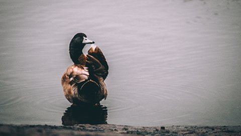 Утка, озеро, птица
