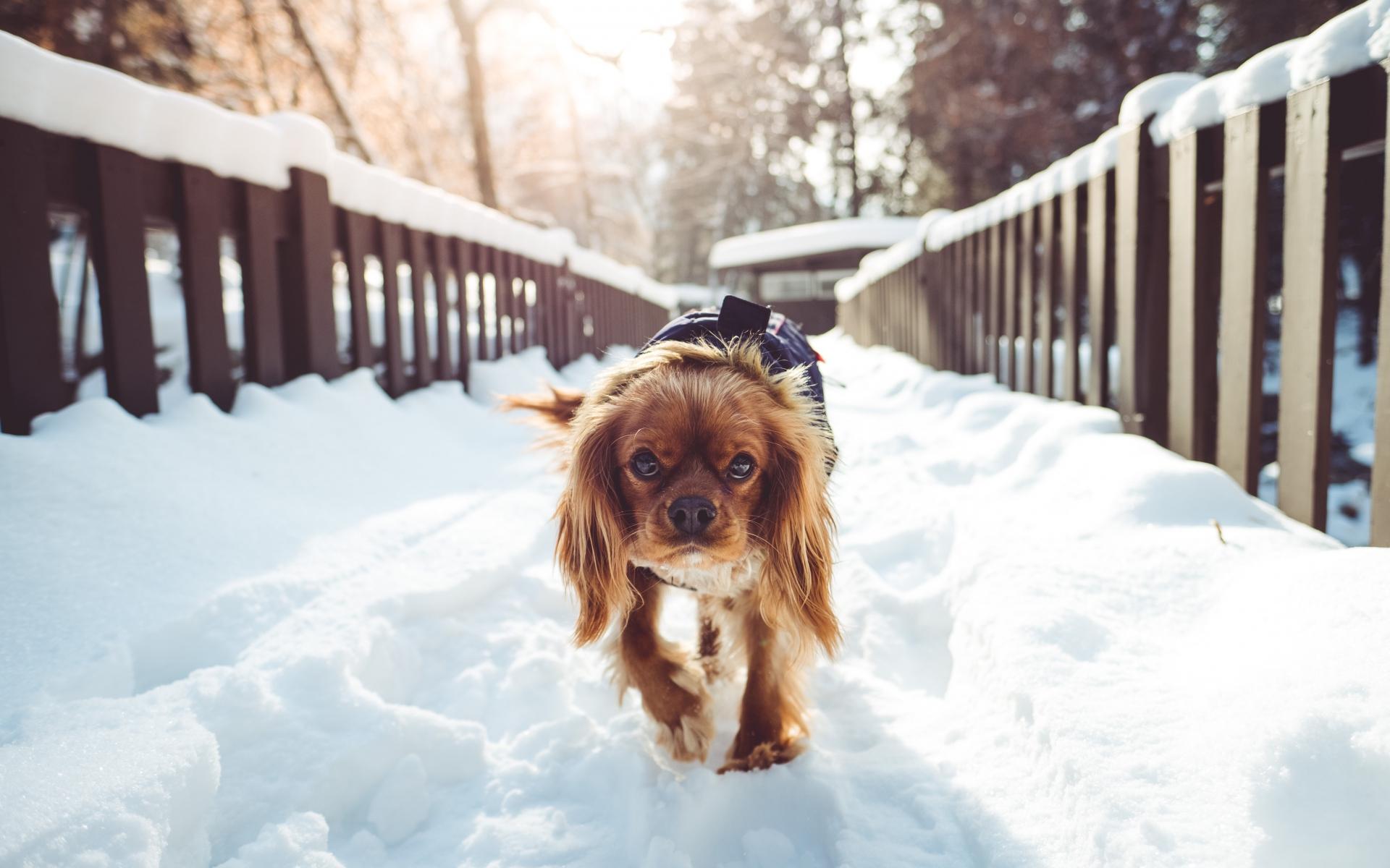 Картинки Собака, ходьба, зима фото и обои на рабочий стол