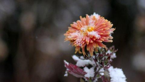 Хризантема, снег, бутон