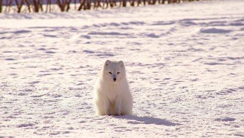 Полярная лиса, песок, снег