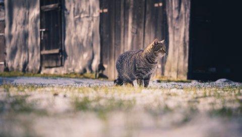 Кошка, табби, прогулка