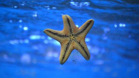 Морская звезда, подводное плавание