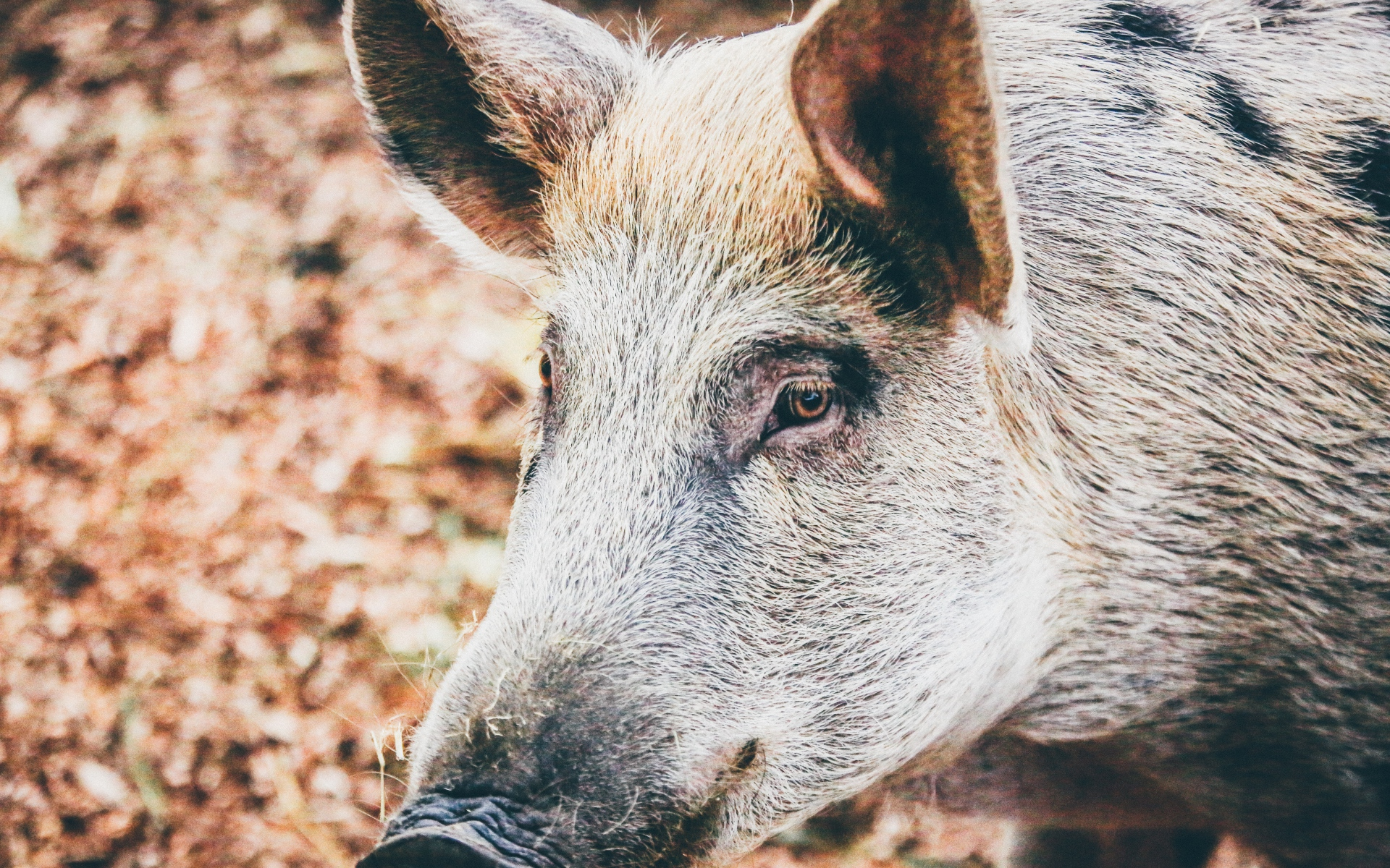 Картинки глаз свинки процедуры жару