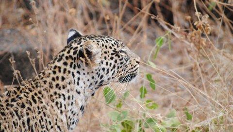 Леопард, хищник, морда