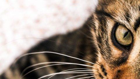Кошка, лицо, глаза