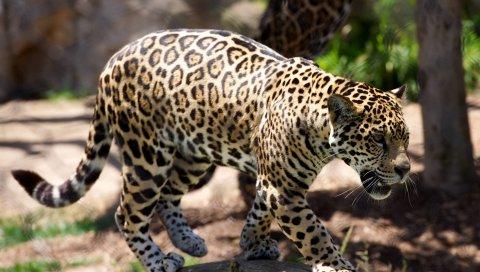 Гепард, хищник, большой кот