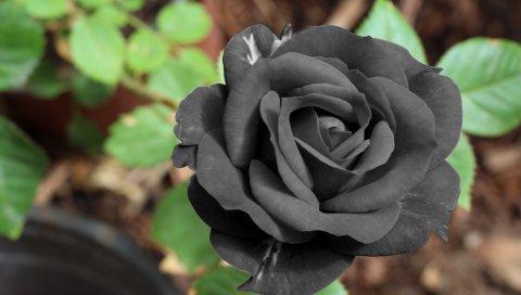 Черная роза, цветок, бутон