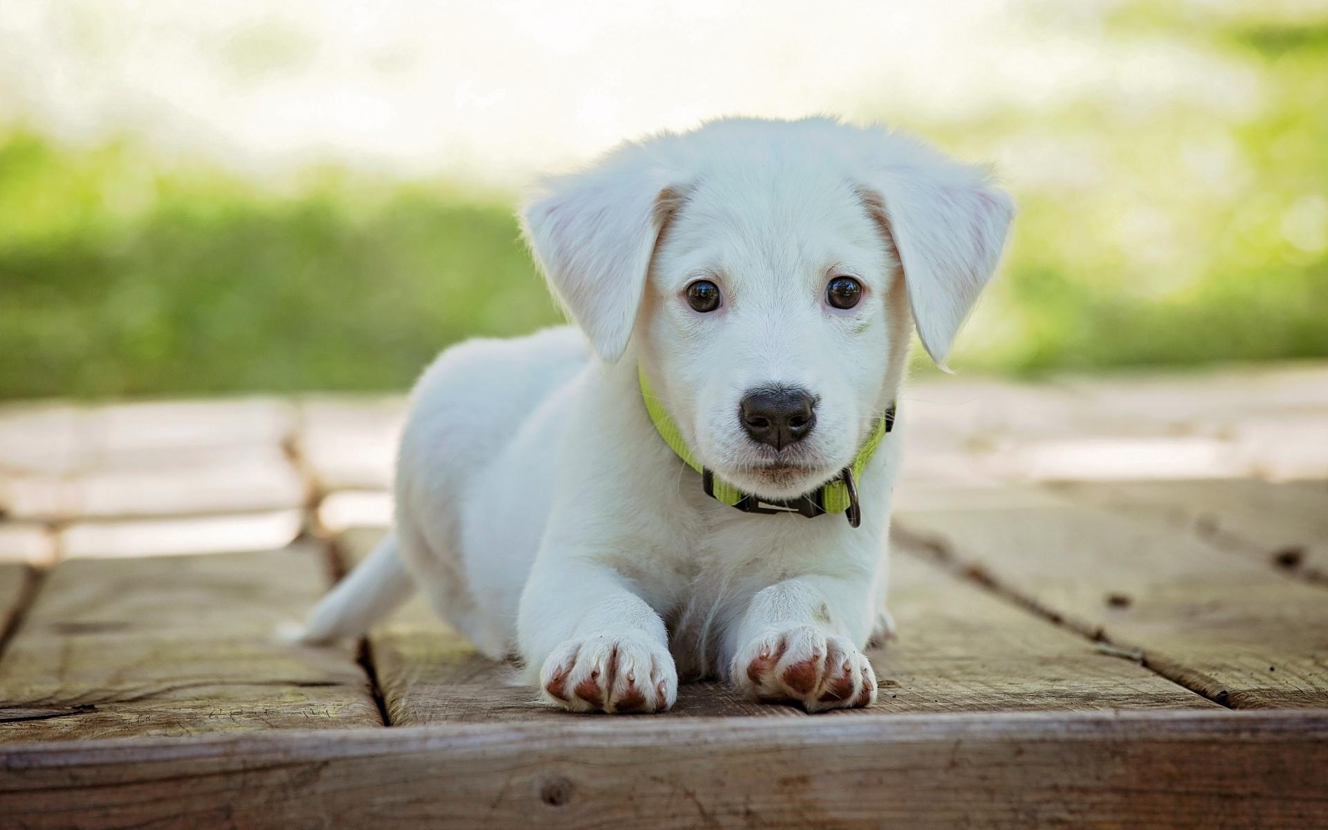 Картинки Щенок, собака, лежа, белый фото и обои на рабочий стол