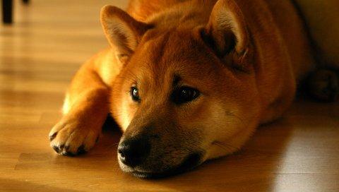 Shiba inu, собака, морда, ложь