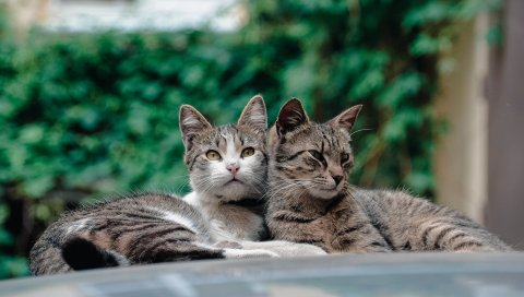 Кошки, пара, ложь