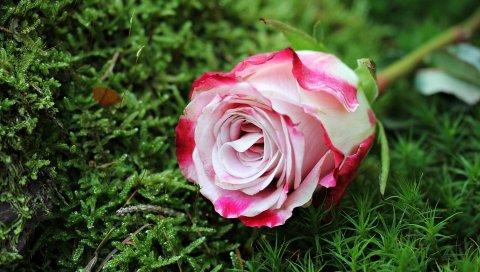 Роза, бутон, розовый, трава