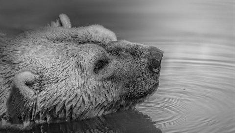 Полярный медведь, морда, вода, мокрый