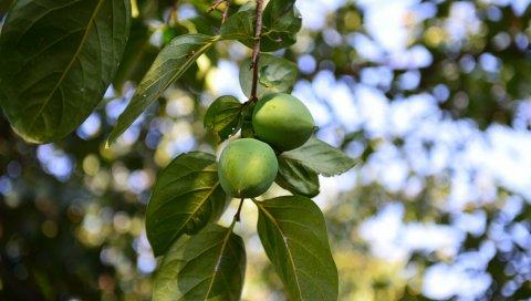 Хурма, ветка, фрукты