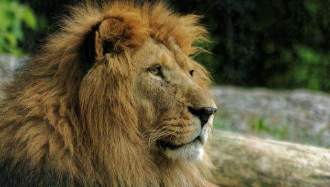 Лев, морда, грива, хищник
