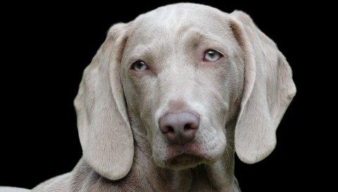 Веймаранер, собака, морда, глаза