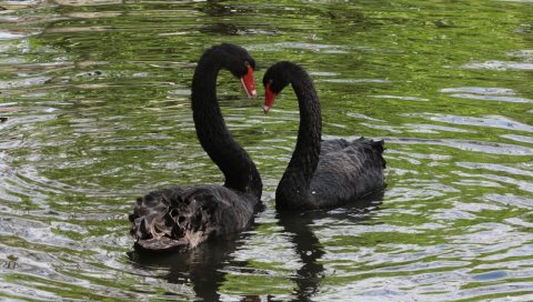 Лебеди, птицы, пара, отражение