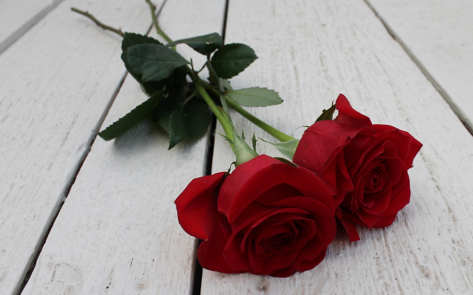 Картинки Роза, пара, цветы, стебель, бутон фото и обои на рабочий стол