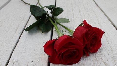 Роза, пара, цветы, стебель, бутон