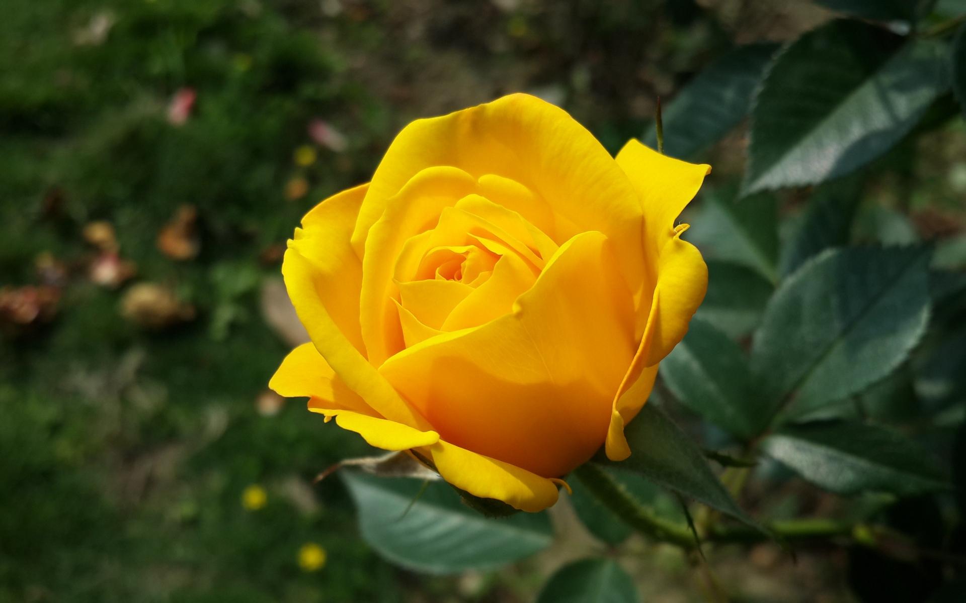 правильно желтые розы фото на рабочий стол используют