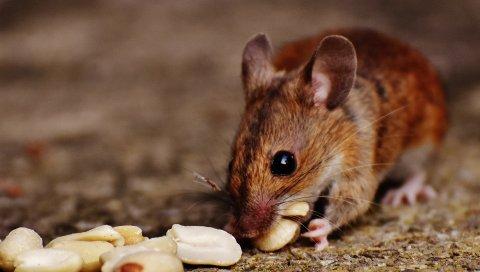 Древесная мышь, мышь, грызуны, орехи, продукты питания