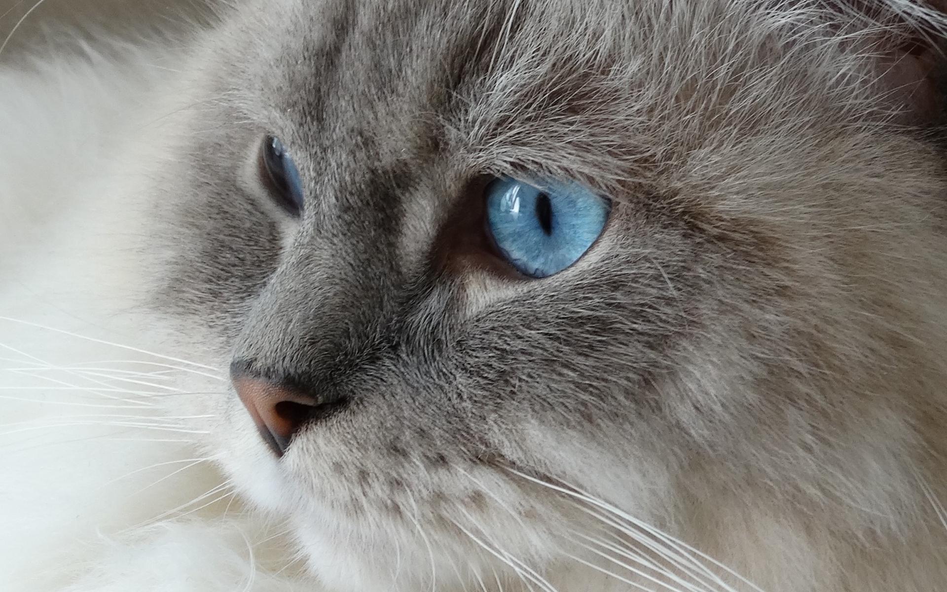 Картинки Кошка, лицо, пушистая, голубоглазый фото и обои на рабочий стол