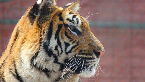 Тигр, лицо, нос, хищник
