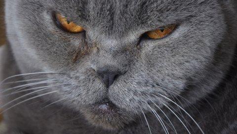 Кошка, морда, британская короткошерстная, усы