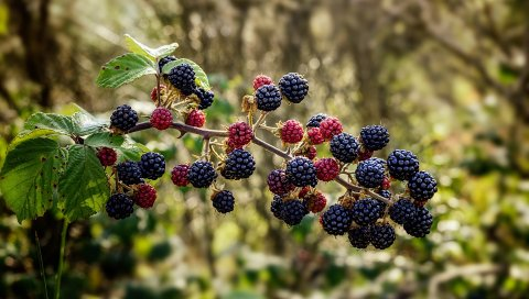Малина, ежевика, ягоды, ветка