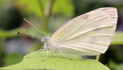 Бабочка, макро, лист