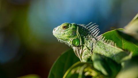 Ящерица, рептилия, цвет, листья