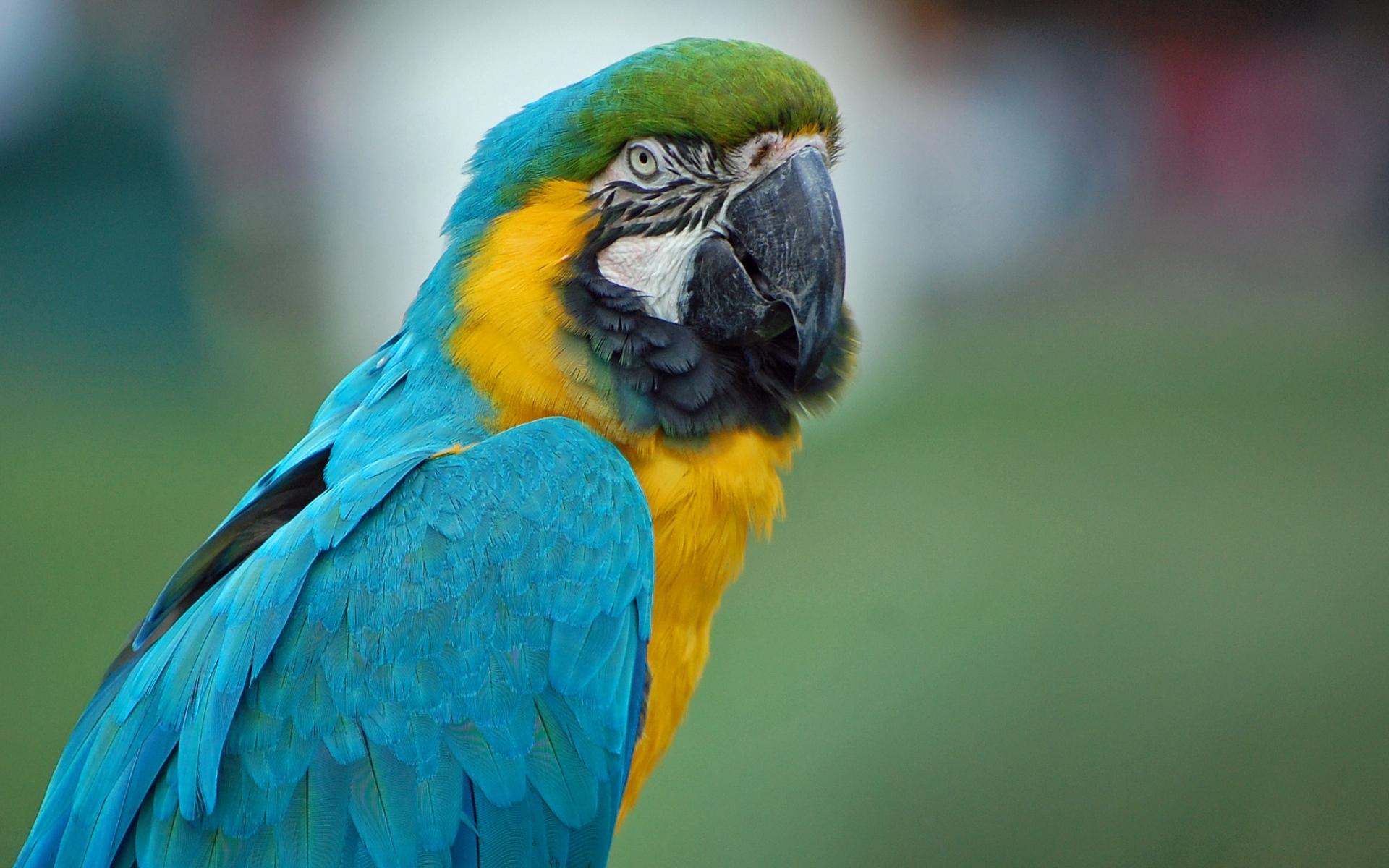 Картинки Попугай, ара, перья, цвет фото и обои на рабочий стол