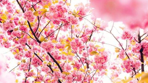 Вишня, цветы, цветение, дерево