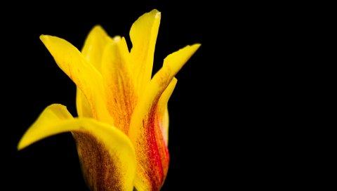 Тюльпан, цветок, бутон, лепестки