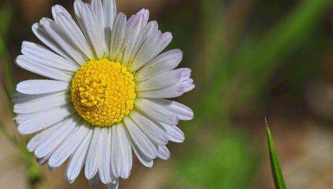 Ромашка, цветок, лепестки, бутон