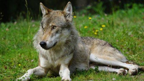 Волк, хищник, трава