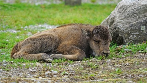 Зубр, теленок, лежа, трава, камень